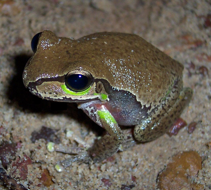 Blue Mountains Tree Frog (Litoria citropa) - Wiki; DISPLAY FULL IMAGE.