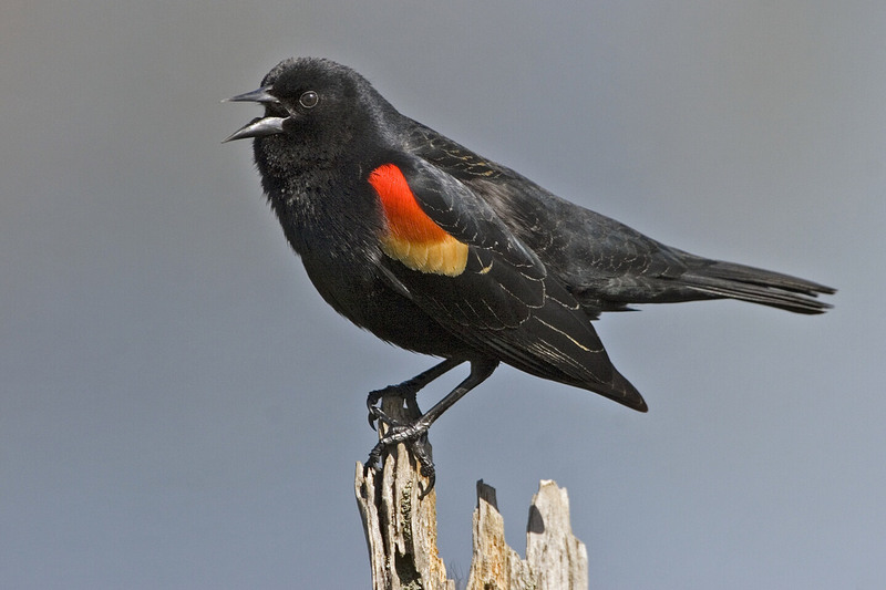 Red-winged Blackbird (Agelaius phoeniceus) - Wiki; DISPLAY FULL IMAGE.
