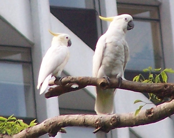 Yellow-crested Cockatoo (Cacatua sulphurea) - Wiki; Image ONLY