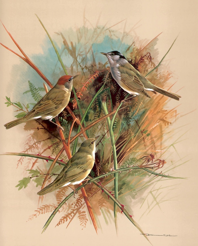 [Consigliere S4 - Basil Ede] Blackcap And Garden Warbler; DISPLAY FULL IMAGE.