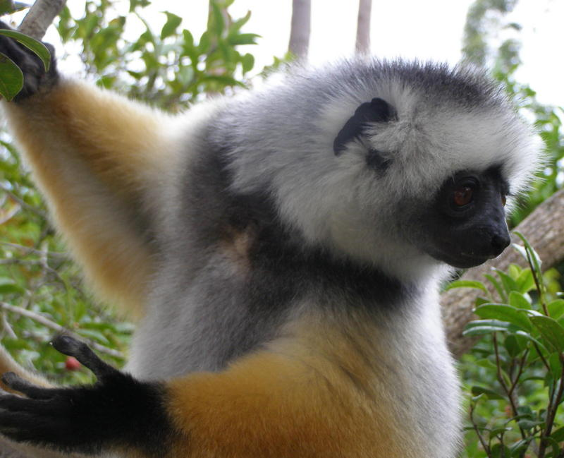 Diademed Sifaka (Propithecus diadema) - Wiki; DISPLAY FULL IMAGE.