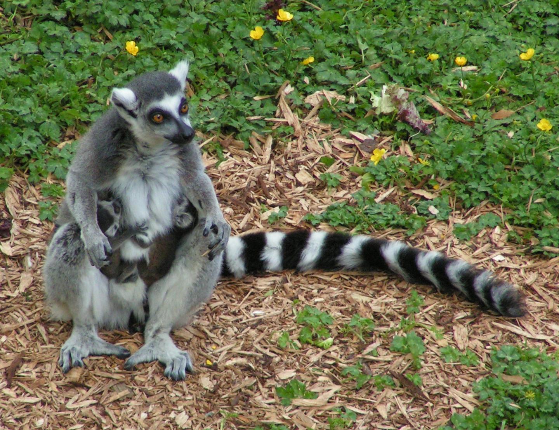 狐猴岛,岛上100多只节尾狐猴,它们面似狐狸,尾巴上有黑白相间节环,深受游客喜爱。   节尾狐猴祖祖辈辈以家族部落形式群居在非洲马达加斯加岛,每个群体都有各自领土,守卫领土的战争不时发生。动物园为避免狐猴战争,对两大家族隔离饲养、轮流放养,执政家族才可以在宽敞树林、绵延的草地里自由活动,另一个在野家族则被限制在几间活动房内,两个家族用铁丝网罩隔离,一年轮换一次。   雄猴阿森和雌猴阿婴出生在两个不同的家族,今年都满3岁。去年,阿森无意中隔着铁丝网看到了面目清秀的阿婴,它性格内向、不敢轻易表白,一