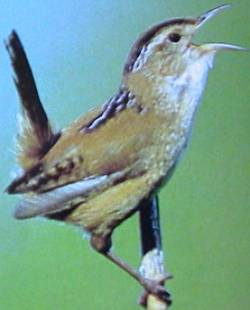 Marsh Wren (Cistothorus palustris) - Wiki; Image ONLY
