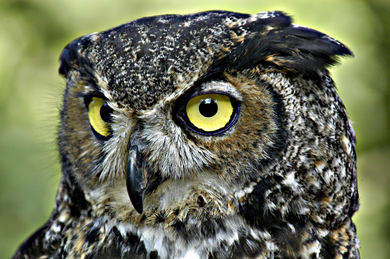 Great Horned Owl (Bubo virginianus) - Wiki; DISPLAY FULL IMAGE.