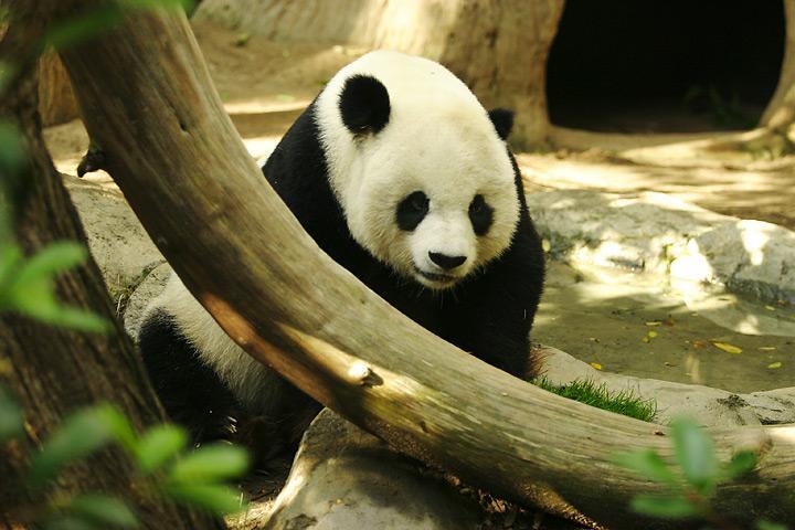 Lightmatter giant panda.jpg