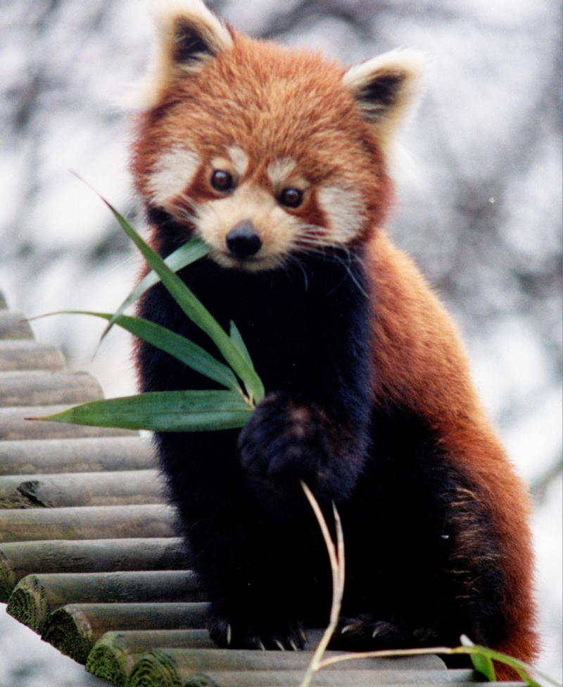 Red Panda (Ailurus fulgens) - Wiki; DISPLAY FULL IMAGE.