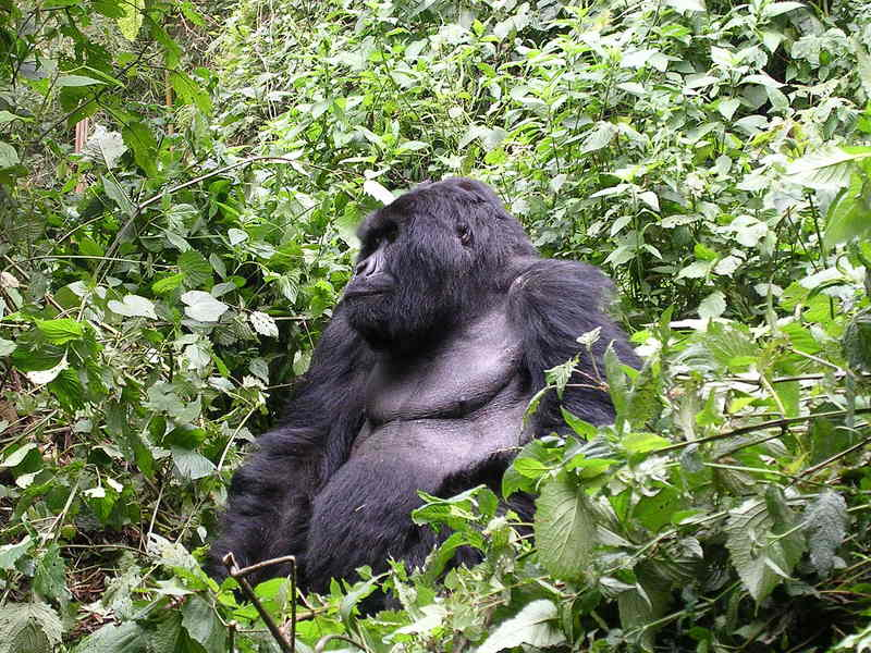 Eastern Gorilla (Gorilla beringei) - Wiki; DISPLAY FULL IMAGE.