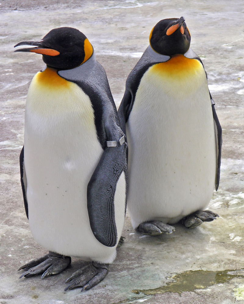 King Penguin (Aptenodytes patagonicus) - Wiki; DISPLAY FULL IMAGE.