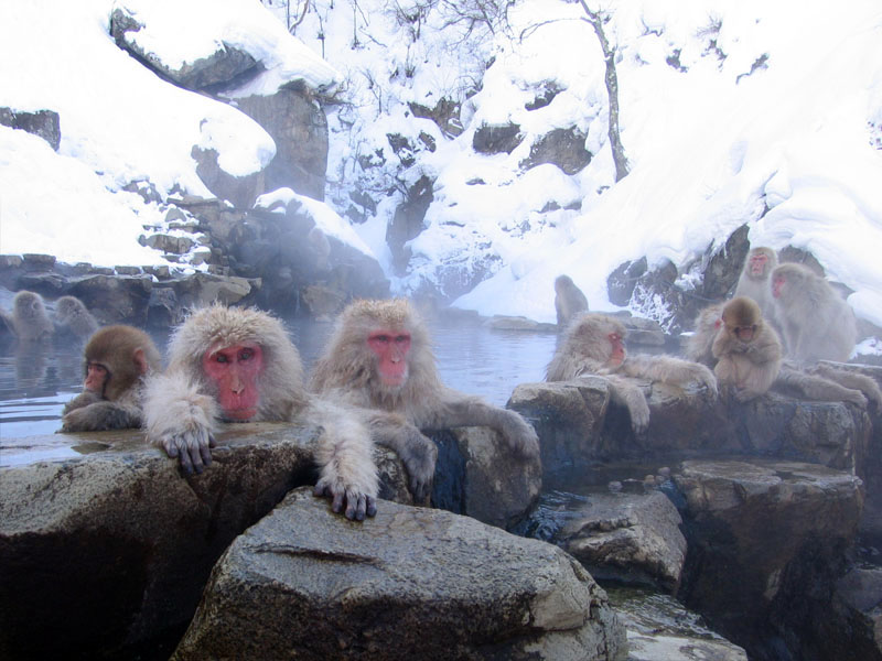 Japanese Macaque / Snow Monkey (Macaca fuscata) - Wiki; Image ONLY