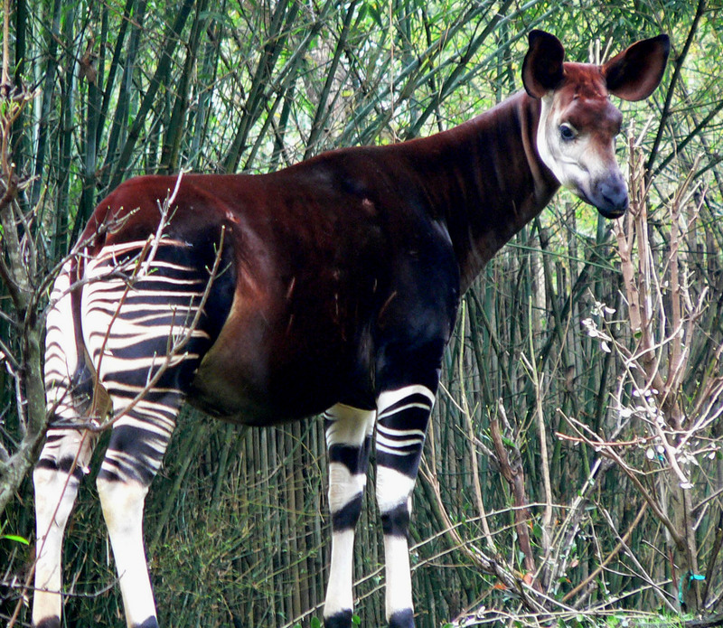 Okapi (Okapia johnstoni) - Wiki; DISPLAY FULL IMAGE.