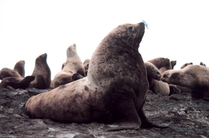 Steller's Sea Lion (Eumetopias jubatus) - Wiki; DISPLAY FULL IMAGE.