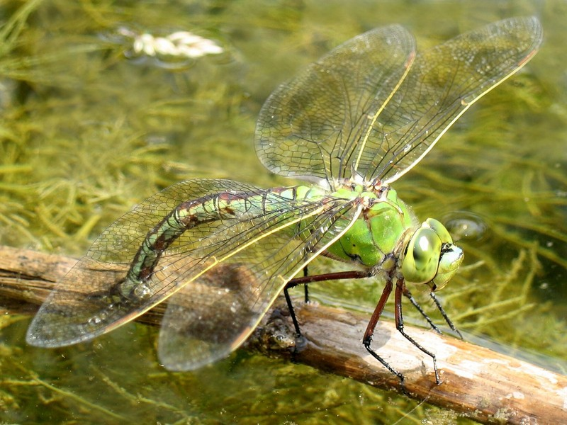 Emperor Dragonfly (Anax imperator) - Wiki; DISPLAY FULL IMAGE.