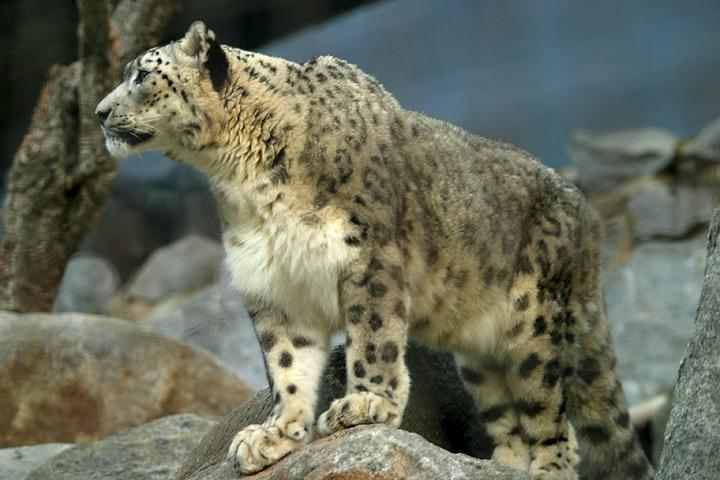 Snow Leopard (Uncia uncia) - Wiki; Image ONLY