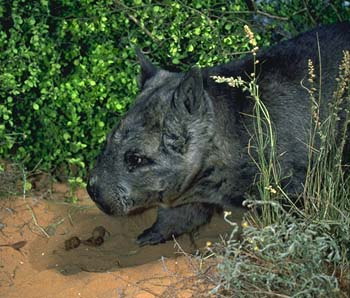 Northern Hairy-nosed Wombat (Lasiorhinus krefftii) - Wiki; Image ONLY
