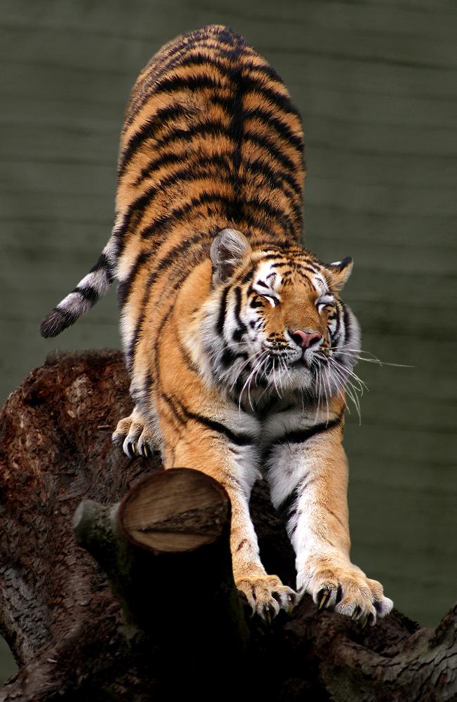 Siberian Tiger by Malene Thyssen, Siberian tiger (Panthera tigris altaica).jpg