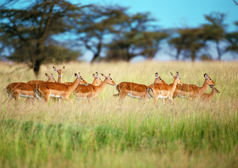 Gazelles; DISPLAY FULL IMAGE.