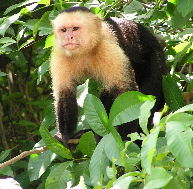 White-headed Capuchin (Cebus capucinus) - Wiki; DISPLAY FULL IMAGE.