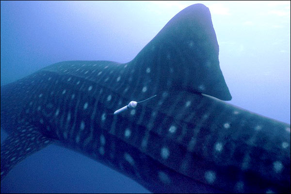 Whale sharks: Close encounter [BBC 2005-10-26]; Image ONLY