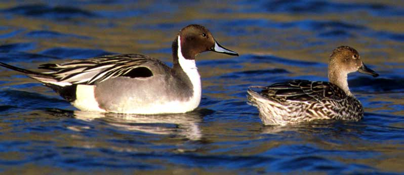 Northern Pintail (Anas acuta) - Wiki; Image ONLY