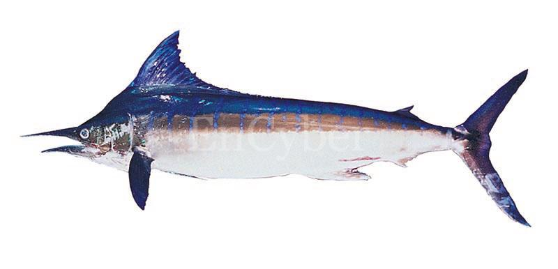 청새치 | striped marlin / barred marlin   Tetrapturus audax; Image ONLY