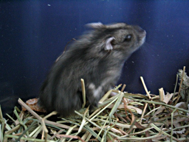 Dwarf Hamster (Cricetidae) - Wiki; Image ONLY