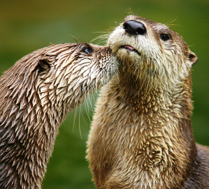 Northern River Otter (Lontra canadensis) - Wiki; DISPLAY FULL IMAGE.