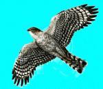 새매 Accipiter nisus (Eurasian Sparrowhawk).jpg