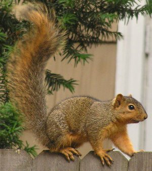 Fox Squirrel (Sciurus niger) - Wiki; Image ONLY