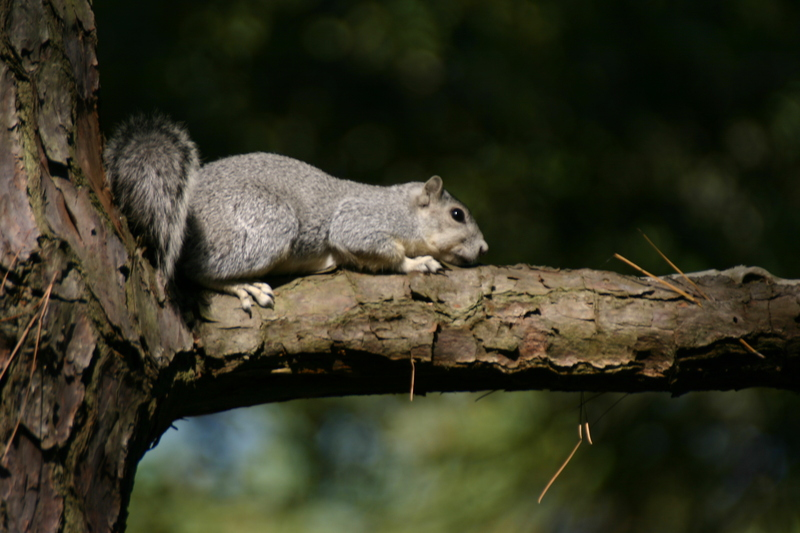 Delmarva Fox Squirrel (Sciurus niger cinereus); DISPLAY FULL IMAGE.