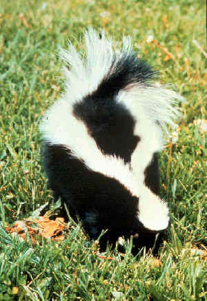 Striped Skunk (Mephitis mephitis) - Wiki; Image ONLY