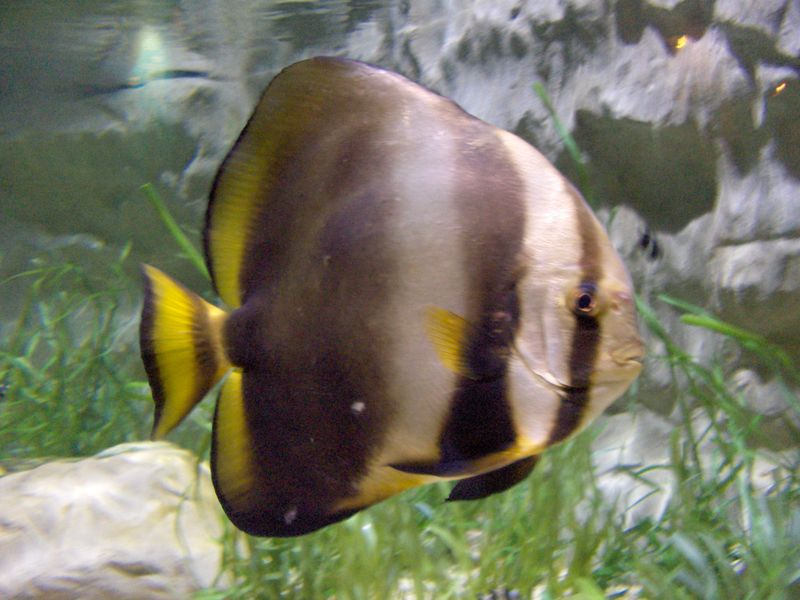 Orbicular Batfish (Platax orbicularis) - Wiki; Image ONLY