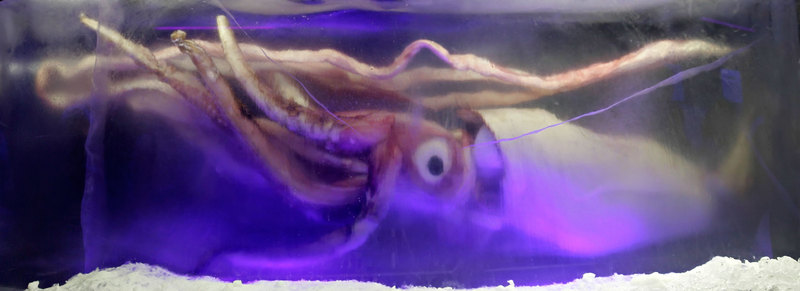 Giant Squid <!--대왕오징어--> - Wiki; DISPLAY FULL IMAGE.