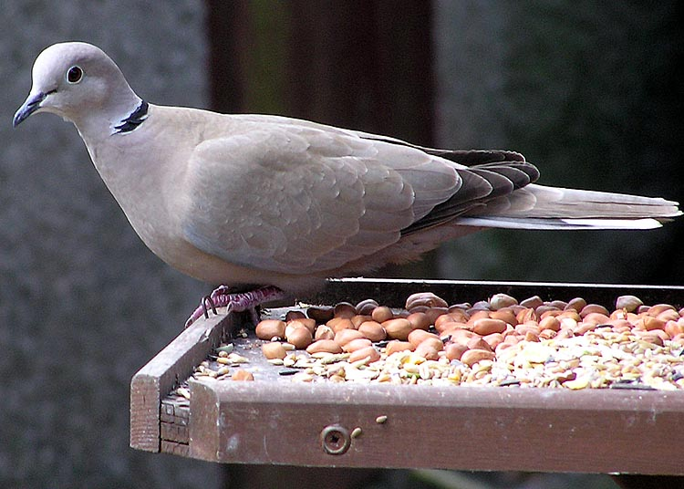 Eurasian Collared Dove (Streptopelia decaocto) - Wiki; Image ONLY