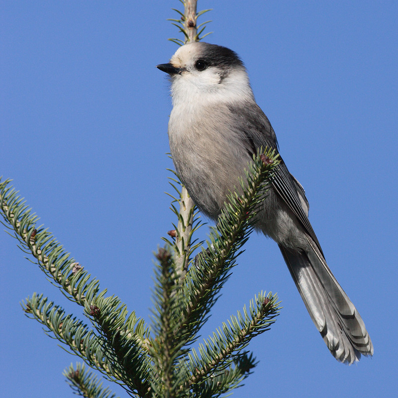 Gray Jay (Perisoreus canadensis) - Wiki; DISPLAY FULL IMAGE.