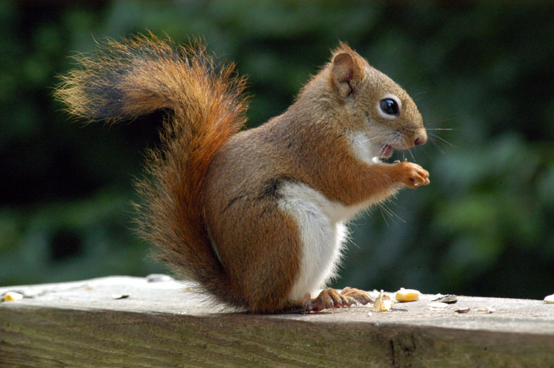 American Red Squirrel (Tamiasciurus hudsonicus) - Wiki; Image ONLY