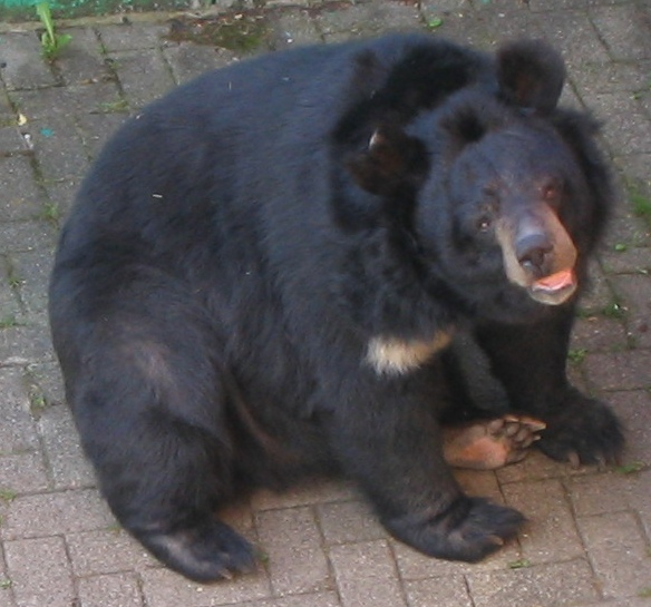 Asiatic Black Bear (Ursus thibetanus) - Wiki; Image ONLY