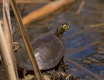 Painted Turtle (Chrysemys picta) - Wiki; Image ONLY