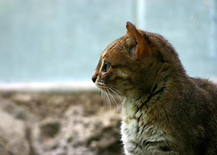 Rusty-spotted Cat (Prionailurus rubiginosus) - Wiki; Image ONLY