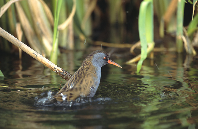 Water Rail (Rallus aquaticus) - Wiki; Image ONLY