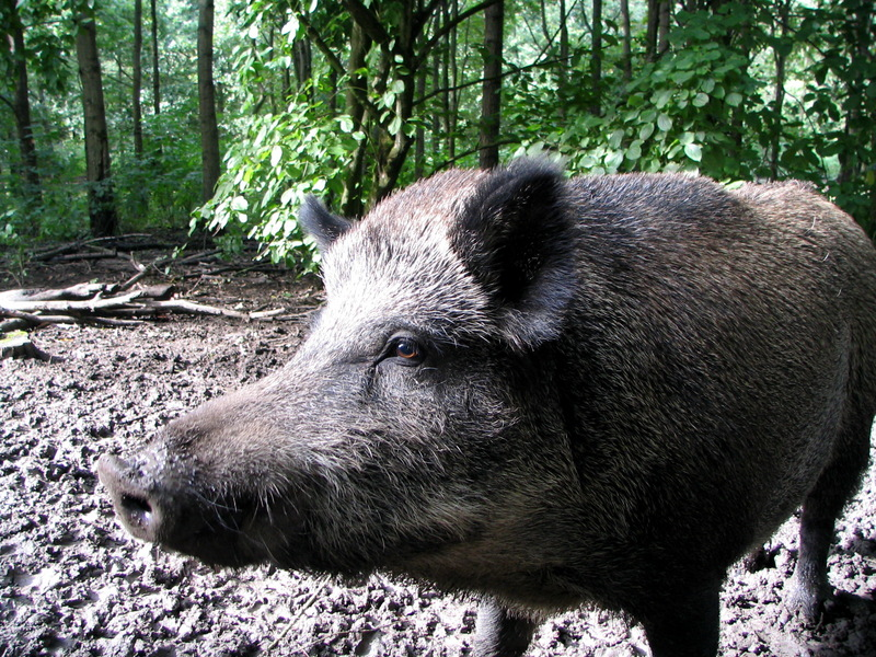 Wild Boar (Sus scrofa) - Wiki; DISPLAY FULL IMAGE.