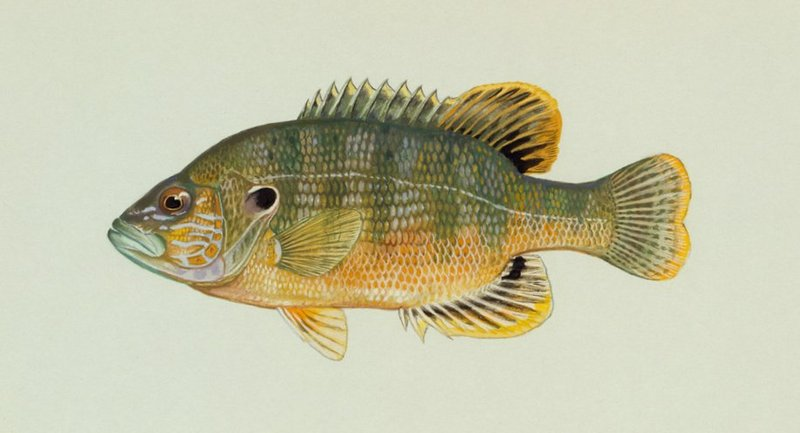 Green Sunfish (Lepomis cyanellus) - Wiki; DISPLAY FULL IMAGE.