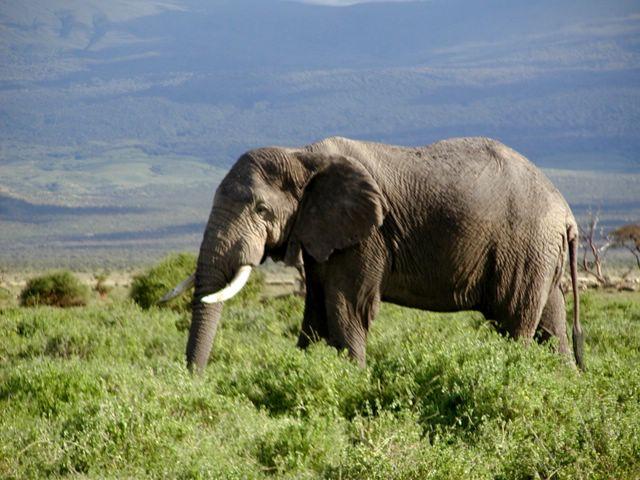 African Elephant in Kenya-African Bush Elephant (Loxodonta africana).jpg
