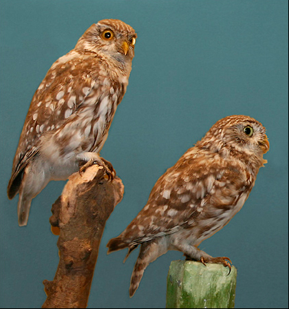 Little Owl (Athene noctua) - Wiki; Image ONLY