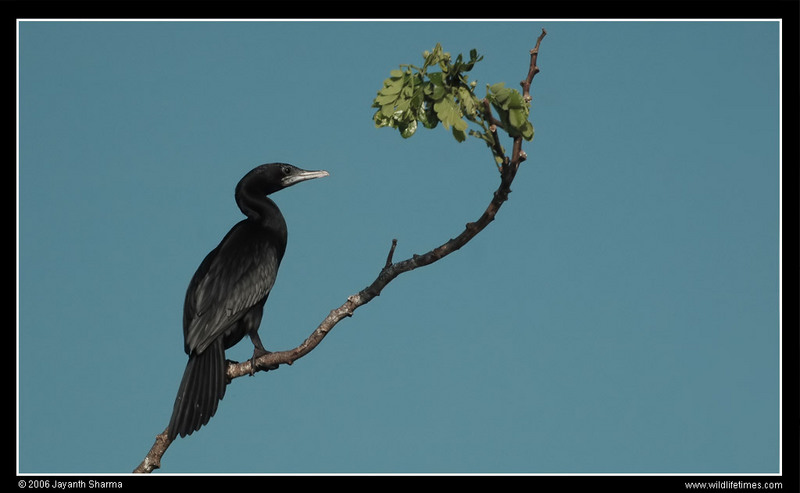 Little Cormorant (Phalacrocorax niger) - Wiki; DISPLAY FULL IMAGE.