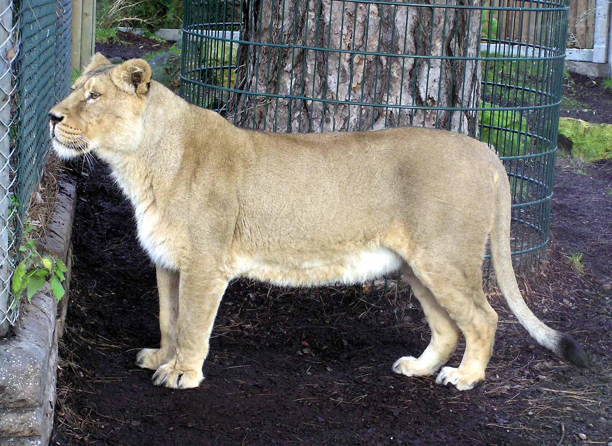 Asiatic Lion (Panthera leo persica) - Wiki