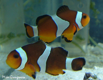 Clown Anemonefish / Ocellaris Clownfish (Amphiprion ocellaris) - Wiki; Image ONLY