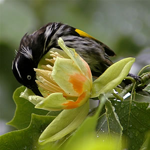 New Holland Honeyeater (Phylidonyris novaehollandiae) - Wiki; Image ONLY