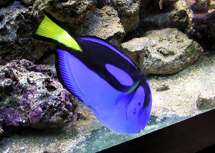 Blue tang paracanthurus hepatus wiki image only for Blue tang fish facts