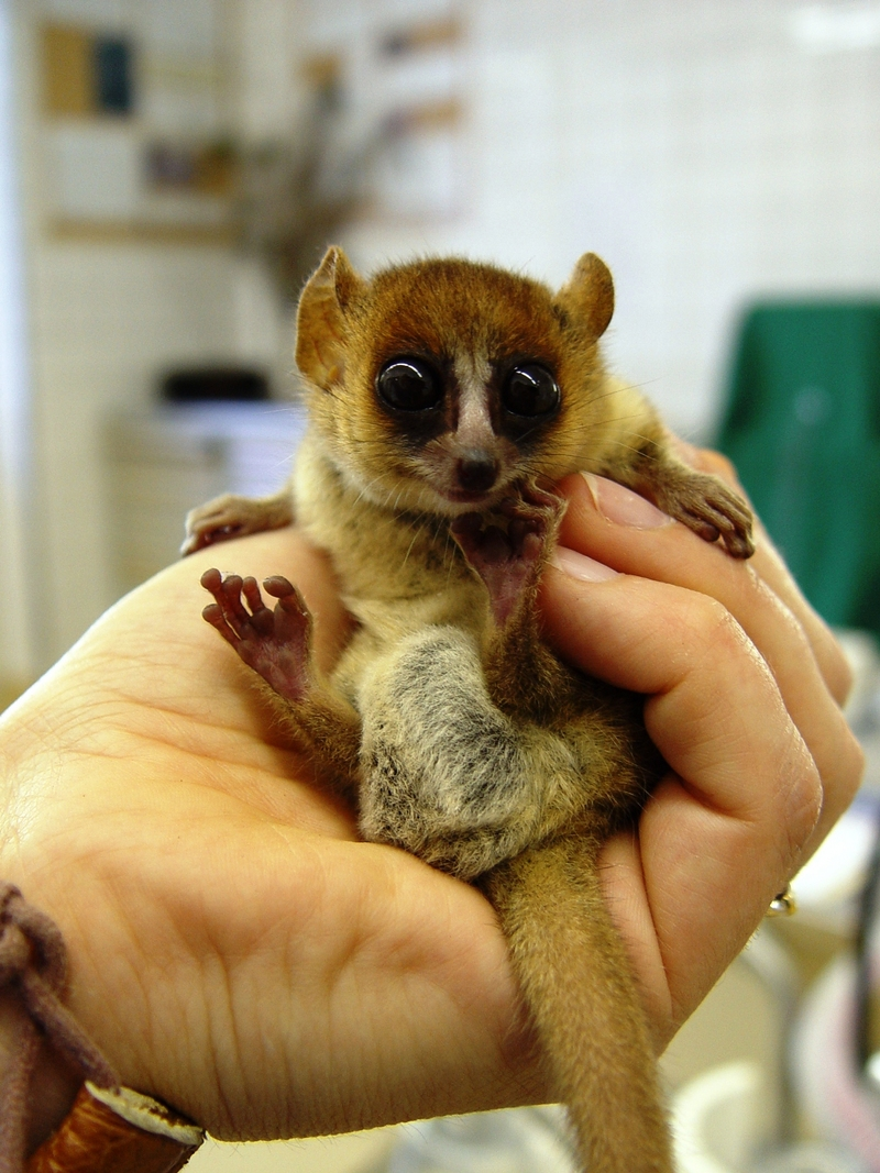 Goodman's Mouse Lemur (Microcebus lehilahytsara) - Wiki; DISPLAY FULL IMAGE.