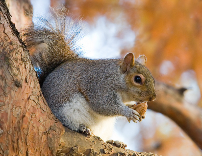 Eastern Gray Squirrel (Sciurus carolinensis) - Wiki; DISPLAY FULL IMAGE.